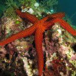 stella rossa 45 150x150 Echinaster sepositus   Stella rossa