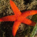 stella rossa 47 150x150 Echinaster sepositus   Stella rossa