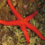 stella rossa 48 150x150 Echinaster sepositus   Stella rossa