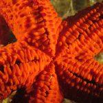 stella rossa 53 150x150 Echinaster sepositus   Stella rossa