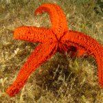 stella rossa 56 150x150 Echinaster sepositus   Stella rossa