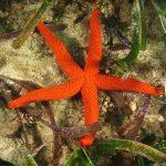 stella rossa 57 150x150 Echinaster sepositus   Stella rossa