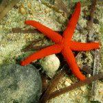 stella rossa 61 150x150 Echinaster sepositus   Stella rossa