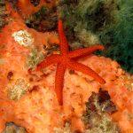 stella rossa 62 150x150 Echinaster sepositus   Stella rossa
