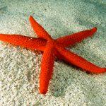 stella rossa 64 150x150 Echinaster sepositus   Stella rossa