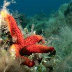 stella rossa 66 150x150 Echinaster sepositus   Stella rossa