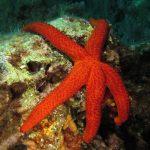 stella rossa 81 150x150 Echinaster sepositus   Stella rossa