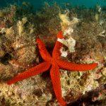stella rossa 82 150x150 Echinaster sepositus   Stella rossa