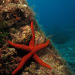 stella rossa 86 150x150 Echinaster sepositus   Stella rossa