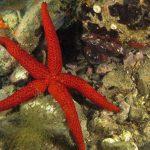 stella rossa 88 150x150 Echinaster sepositus   Stella rossa