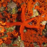stella rossa 89 150x150 Echinaster sepositus   Stella rossa