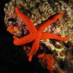 stella rossa 91 150x150 Echinaster sepositus   Stella rossa