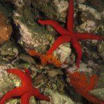 stella rossa 93 150x150 Echinaster sepositus   Stella rossa