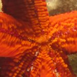 stella rossa 97 150x150 Echinaster sepositus   Stella rossa