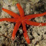 stella rossa anomale 05 150x150 Stella rossa anomala