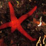 stella rossa mutilata 07 150x150 Stella rossa mutilata