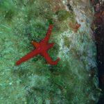 stella rossa mutilata 08 150x150 Stella rossa mutilata