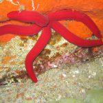stella serpente 08 150x150 Ophidiaster ophidianus   Stella serpente