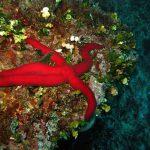 stella serpente 17 150x150 Ophidiaster ophidianus   Stella serpente