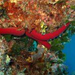 stella serpente 18 150x150 Ophidiaster ophidianus   Stella serpente