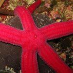 stella serpente 19 150x150 Ophidiaster ophidianus   Stella serpente