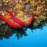 stella serpente 21 150x150 Ophidiaster ophidianus   Stella serpente