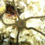 stella serpentina liscia 08 150x150 Stella serpentina liscia