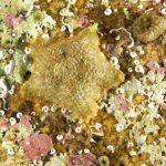 stellina grassa 62 150x150 Asterina gibbosa   Stella grassa