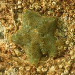 stellina grassa 63 150x150 Asterina gibbosa   Stella grassa
