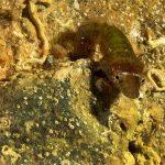 succhiascoglio 28 150x150 Lepadogaster condollei   Succhiascoglio comune