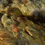 succhiascoglio 29 150x150 Lepadogaster condollei   Succhiascoglio comune