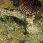 succhiascoglio 39 150x150 Lepadogaster condollei   Succhiascoglio comune