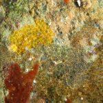 succhiascoglio 47 150x150 Lepadogaster condollei   Succhiascoglio comune