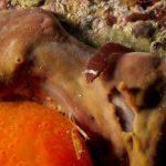 succhiascoglio 65 150x150 Lepadogaster condollei   Succhiascoglio comune