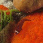 succhiascoglio 66 150x150 Lepadogaster condollei   Succhiascoglio comune