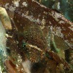 succhiascoglio 70 150x150 Lepadogaster condollei   Succhiascoglio comune