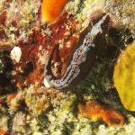 succhiascoglio sp a07 150x150 Lepadogaster condollei   Succhiascoglio comune
