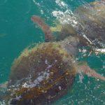 tartaruga caretta caretta 11 150x150 Tartaruga di mare