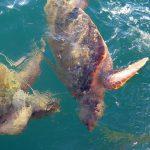tartaruga caretta caretta 12 150x150 Tartaruga di mare