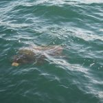 tartaruga caretta caretta 14 150x150 Tartaruga di mare