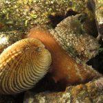 tartufo di mare 06 150x150 Tartufo di mare