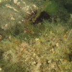 tordo grigio 17 150x150 Simpodus cinereus   Tordo grigio