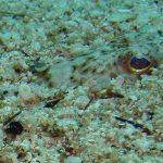 tracina 07 150x150 Trachinus draco   Tracina