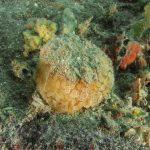 umbracolo mediterraneo 13 150x150 Umbraculum mediterraneum   Umbracolo mediterraneo