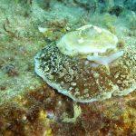 umbracolo mediterraneo 18 150x150 Umbraculum mediterraneum   Umbracolo mediterraneo