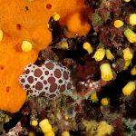 vacchetta 61 150x150 Peltodoris atromaculata, Discodoris atromaculata   Doride vacchetta di mare