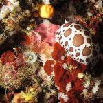 vacchetta 80 150x150 Peltodoris atromaculata, Discodoris atromaculata   Doride vacchetta di mare