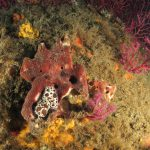 vacchetta 89 150x150 Peltodoris atromaculata, Discodoris atromaculata   Doride vacchetta di mare