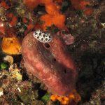 vacchetta di mare 90 150x150 Peltodoris atromaculata, Discodoris atromaculata   Doride vacchetta di mare
