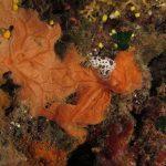vacchetta di mare 91 150x150 Peltodoris atromaculata, Discodoris atromaculata   Doride vacchetta di mare